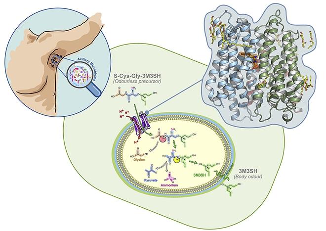 Các nhà nghiên cứu thuộc tìm ra nguồn gốc của mùi dưới cánh tay: một loại enzym - Ảnh 1.