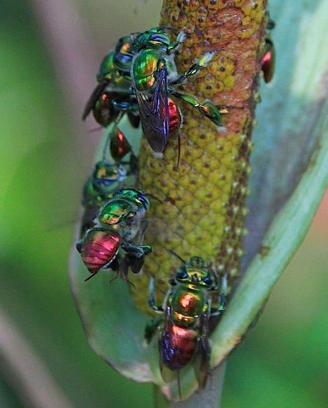 Ong phong lan, loài vật màu mè nhất trong thế giới côn trùng nhưng lại không biết làm mật - Ảnh 4.