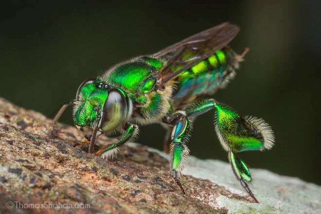 Ong phong lan, loài vật màu mè nhất trong thế giới côn trùng nhưng lại không biết làm mật - Ảnh 1.