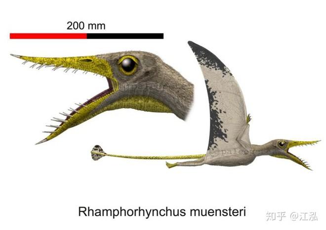 Rhamphorhynchus: Loài thằn lằn bay tí hon sở hữu hàm răng của tử thần - Ảnh 2.