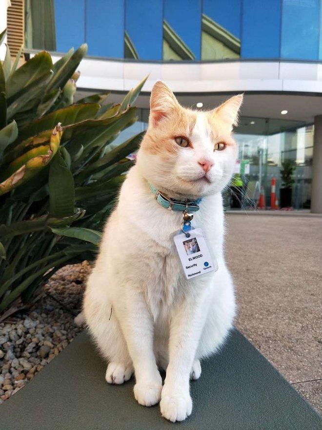 """Chú mèo hoang được tuyển vào làm nhân viên chính thức sau 1 thời gian """"mặt dày"""" lang thang trong khuôn viên bệnh viện - Ảnh 2."""