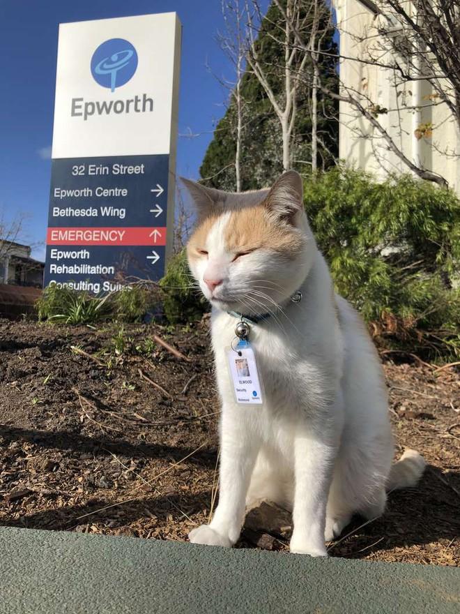 """Chú mèo hoang được tuyển vào làm nhân viên chính thức sau 1 thời gian """"mặt dày"""" lang thang trong khuôn viên bệnh viện - Ảnh 1."""