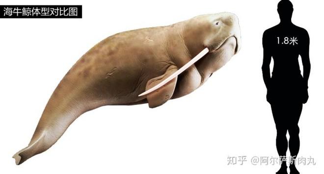 Odobenocetops: Loài cá voi kỳ lạ có cặp ngà bên dài bên ngắn - Ảnh 2.