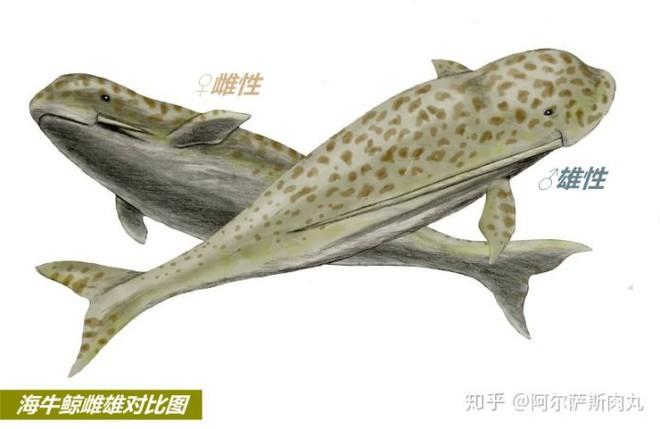 Odobenocetops: Loài cá voi kỳ lạ có cặp ngà bên dài bên ngắn - Ảnh 8.