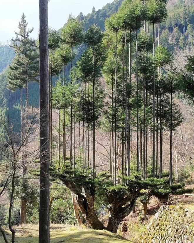 Tìm hiểu về kỹ thuật trồng cây cổ xưa Daisugi giúp tạo ra nhiều cây gỗ mới từ một gốc cây - Ảnh 5.