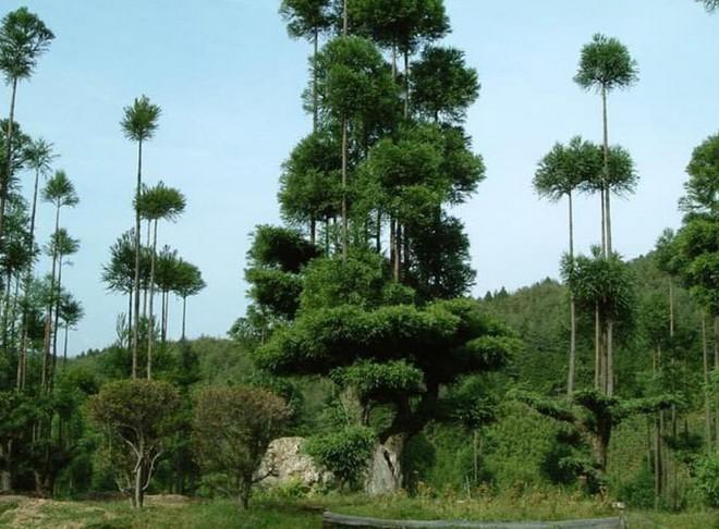 Tìm hiểu về kỹ thuật trồng cây cổ xưa Daisugi giúp tạo ra nhiều cây gỗ mới từ một gốc cây - Ảnh 1.