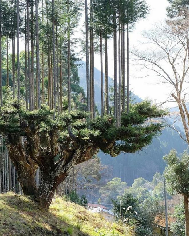 Tìm hiểu về kỹ thuật trồng cây cổ xưa Daisugi giúp tạo ra nhiều cây gỗ mới từ một gốc cây - Ảnh 4.