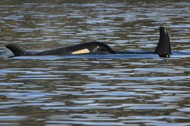 J50, một con cá voi sát thủ khác trong quần thể Southern Resident đang bơi cùng chị em của mình.