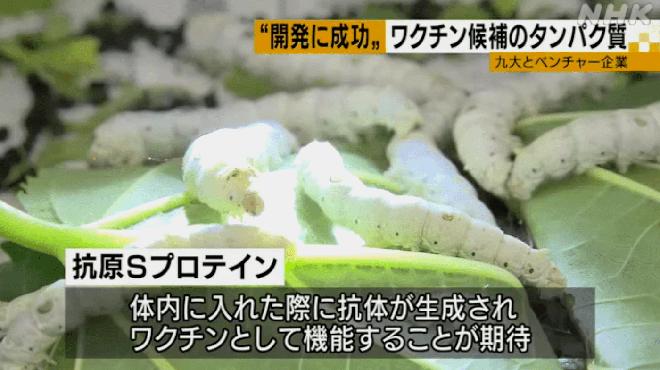 Giáo sư Nhật Bản muốn sản xuất vắc-xin COVID-19 giá rẻ từ nhộng tằm - Ảnh 1.