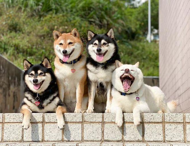 Con chó Shiba Inu nổi tiếng cộng đồng vì chuyên phá hỏng các bức ảnh chụp nhóm - Ảnh 3.