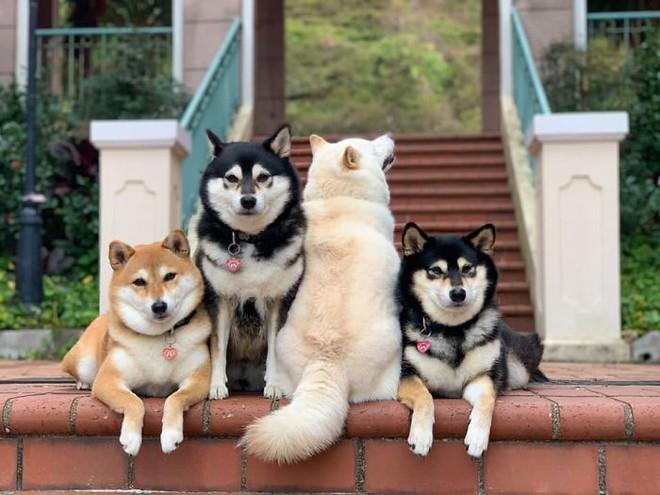 Con chó Shiba Inu nổi tiếng cộng đồng vì chuyên phá hỏng các bức ảnh chụp nhóm - Ảnh 4.
