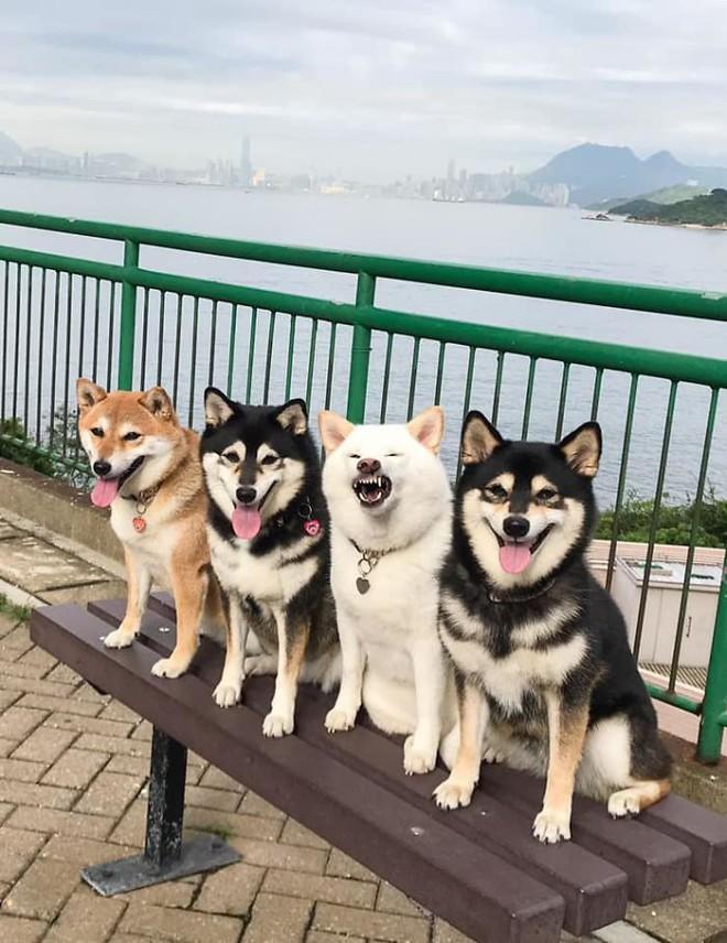Con chó Shiba Inu nổi tiếng cộng đồng vì chuyên phá hỏng các bức ảnh chụp nhóm - Ảnh 5.