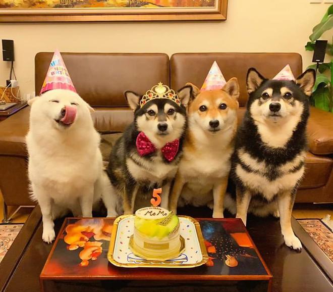 Con chó Shiba Inu nổi tiếng cộng đồng vì chuyên phá hỏng các bức ảnh chụp nhóm - Ảnh 6.