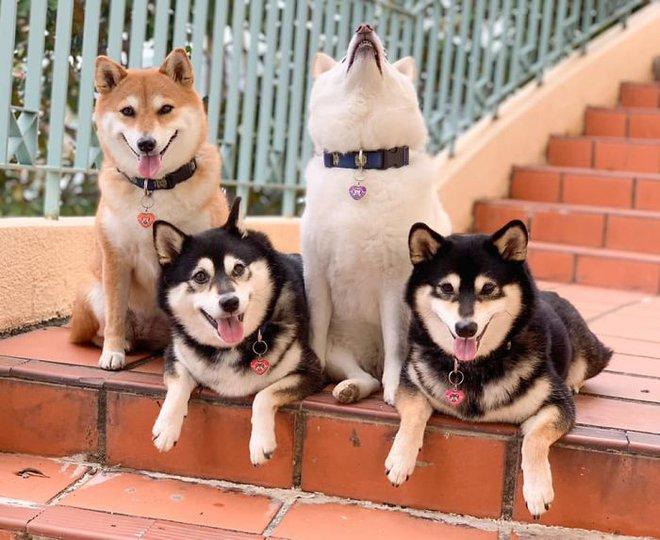 Con chó Shiba Inu nổi tiếng cộng đồng vì chuyên phá hỏng các bức ảnh chụp nhóm - Ảnh 7.