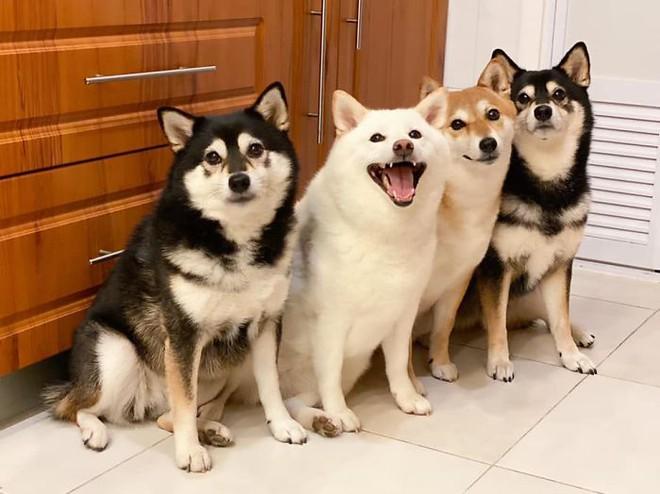 Con chó Shiba Inu nổi tiếng cộng đồng vì chuyên phá hỏng các bức ảnh chụp nhóm - Ảnh 8.
