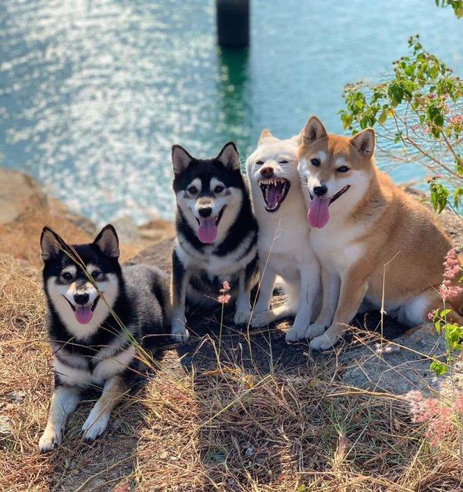 Con chó Shiba Inu nổi tiếng cộng đồng vì chuyên phá hỏng các bức ảnh chụp nhóm - Ảnh 9.
