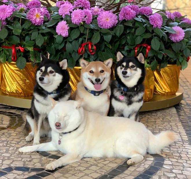 Con chó Shiba Inu nổi tiếng cộng đồng vì chuyên phá hỏng các bức ảnh chụp nhóm - Ảnh 11.