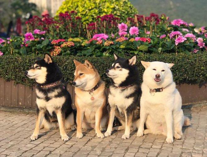 Con chó Shiba Inu nổi tiếng cộng đồng vì chuyên phá hỏng các bức ảnh chụp nhóm - Ảnh 12.
