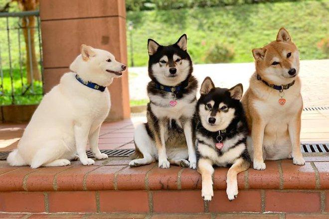 Con chó Shiba Inu nổi tiếng cộng đồng vì chuyên phá hỏng các bức ảnh chụp nhóm - Ảnh 13.