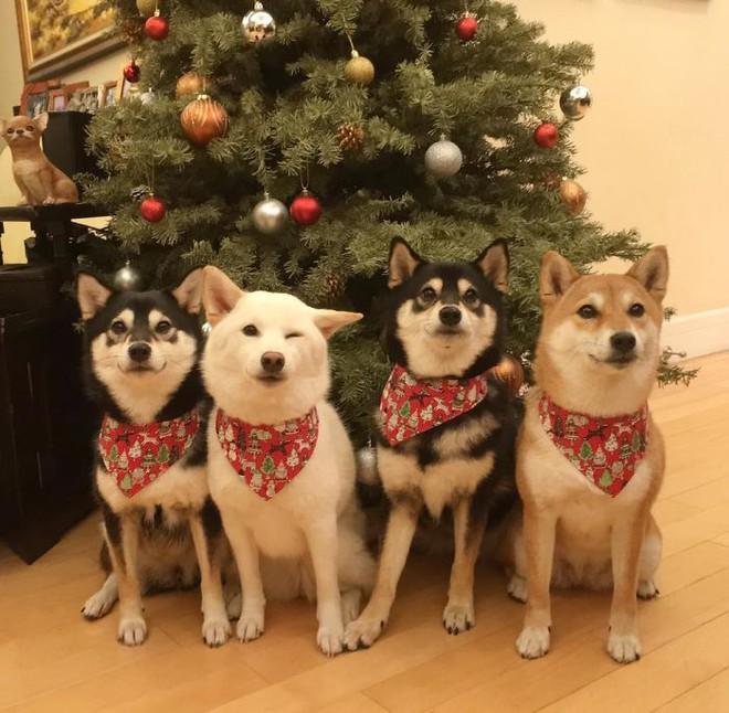 Con chó Shiba Inu nổi tiếng cộng đồng vì chuyên phá hỏng các bức ảnh chụp nhóm - Ảnh 14.