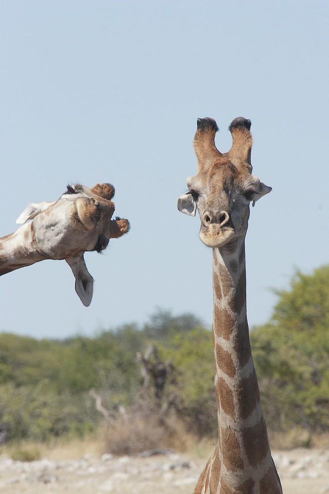 Chết cười với những tác phẩm lọt vào vòng chung kết cuộc thi nhiếp ảnh động vật hài hước nhất thế giới - Ảnh 25.