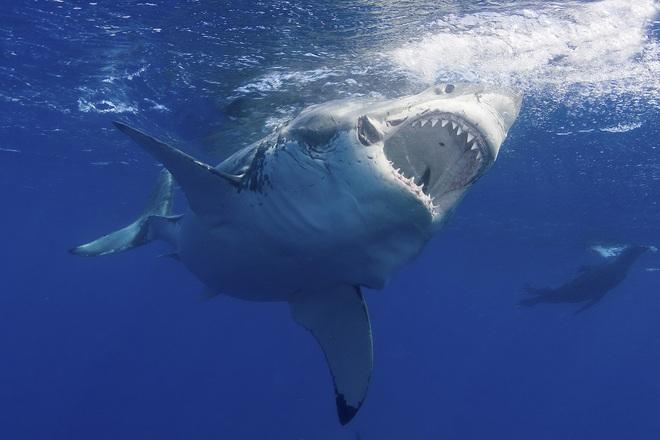 """Đây là loài sinh vật biển chỉ cần bơi ngang cũng khiến cá mập trắng lớn sợ hãi tột cùng mà chạy mất dép"""" - Ảnh 4."""