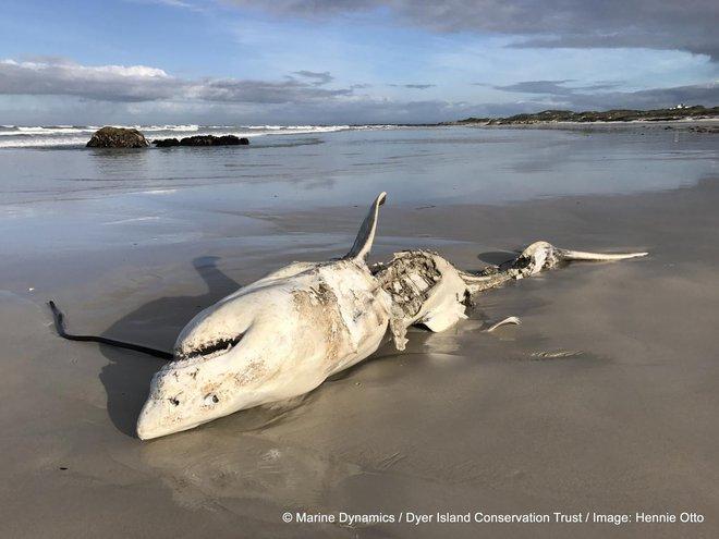 """Đây là loài sinh vật biển chỉ cần bơi ngang cũng khiến cá mập trắng lớn sợ hãi tột cùng mà chạy mất dép"""" - Ảnh 5."""