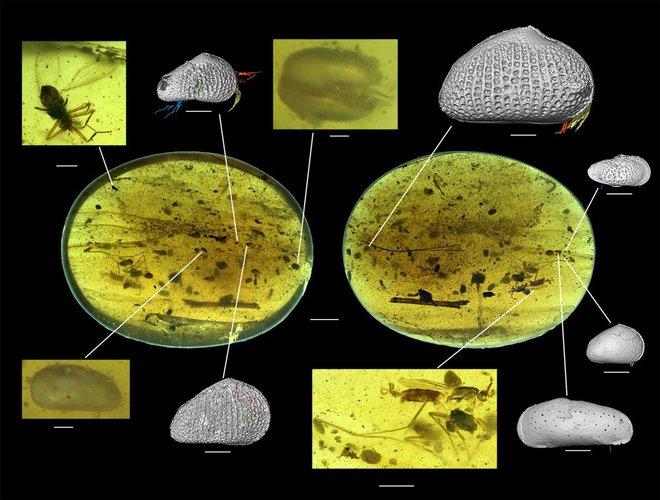 Trong miếng hổ phách này là tế bào tinh trùng khổng lồ to hơn cả khổ chủ, lâu đời nhất thế giới động vật với niên đại 100 triệu năm - Ảnh 1.