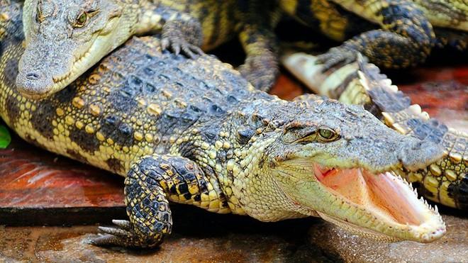 Lễ trao giải IG Nobel 2020: Cho cá sấu hít khí heli, xoay giun đất như chóng chóng và làm dao bằng phân đông lạnh - Ảnh 1.
