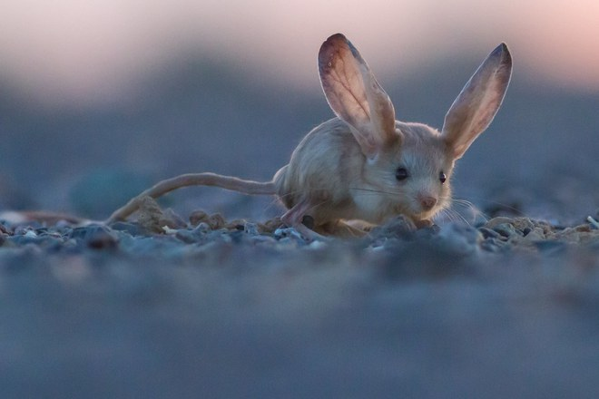 Loài vật tí hon kỳ lạ này trông giống như sự pha trộn giữa chuột, thỏ, lợn và một con chuột túi - Ảnh 4.
