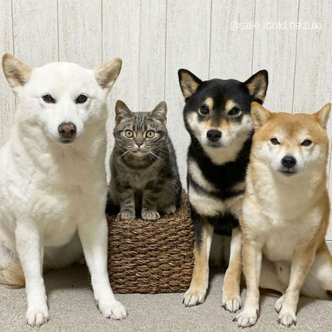 Chú mèo này là sự thay thế hoàn hảo cho chú chó Shiba inu chuyên phá hỏng các bức ảnh chụp nhóm - Ảnh 5.