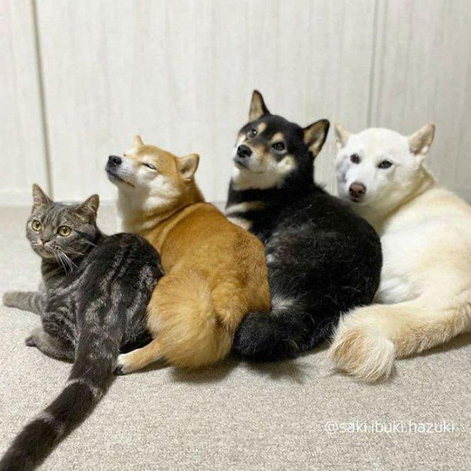 Chú mèo này là sự thay thế hoàn hảo cho chú chó Shiba inu chuyên phá hỏng các bức ảnh chụp nhóm - Ảnh 4.