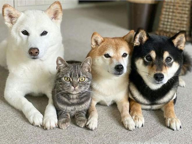 Chú mèo này là sự thay thế hoàn hảo cho chú chó Shiba inu chuyên phá hỏng các bức ảnh chụp nhóm - Ảnh 14.