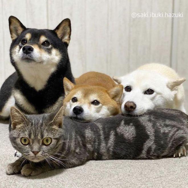 Chú mèo này là sự thay thế hoàn hảo cho chú chó Shiba inu chuyên phá hỏng các bức ảnh chụp nhóm - Ảnh 2.