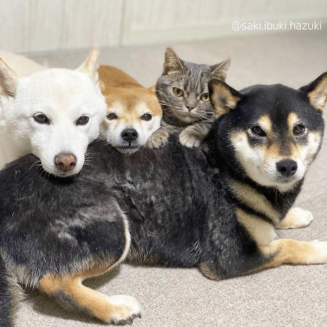 Chú mèo này là sự thay thế hoàn hảo cho chú chó Shiba inu chuyên phá hỏng các bức ảnh chụp nhóm - Ảnh 7.