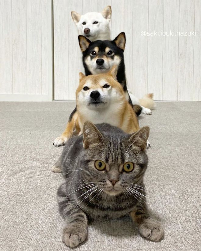 Chú mèo này là sự thay thế hoàn hảo cho chú chó Shiba inu chuyên phá hỏng các bức ảnh chụp nhóm - Ảnh 11.