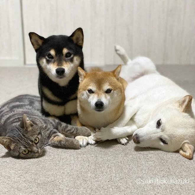 Chú mèo này là sự thay thế hoàn hảo cho chú chó Shiba inu chuyên phá hỏng các bức ảnh chụp nhóm - Ảnh 10.