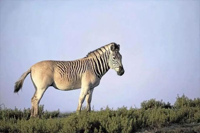 Đã tuyệt chủng một thế kỷ, liệu loài ngựa vằn tàn lụi này có thể thực sự sống lại? - Ảnh 14.