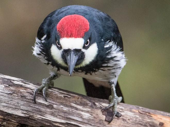 Loài chim này lập liên minh để đánh nhau giành lãnh thổ, và hàng xóm bay đến từ khắp nơi để xem trộm - Ảnh 3.