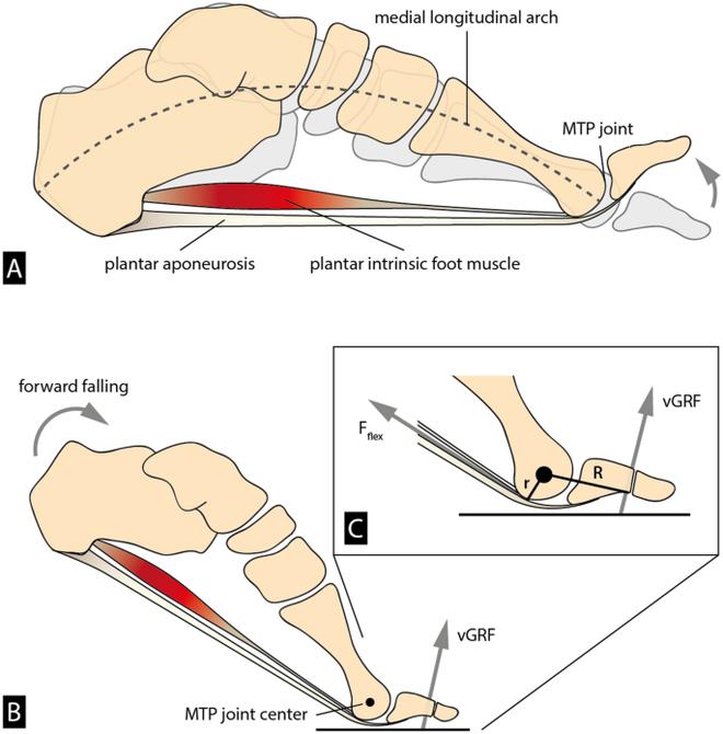 Những đôi giày có đế cong lên ở mũi chân đang dẫn chúng ta đi ngược chiều tiến hóa - Ảnh 2.