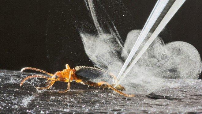 Carabidae: Loài bọ tí hon có thể thả ra những quả bom nhiệt lên tới gần 100 độ C - Ảnh 1.