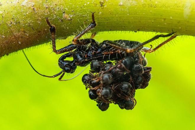 Loài bọ sát thủ tí hon dùng chính xác của nạn nhân để làm áo giáp ngụy trang - Ảnh 3.