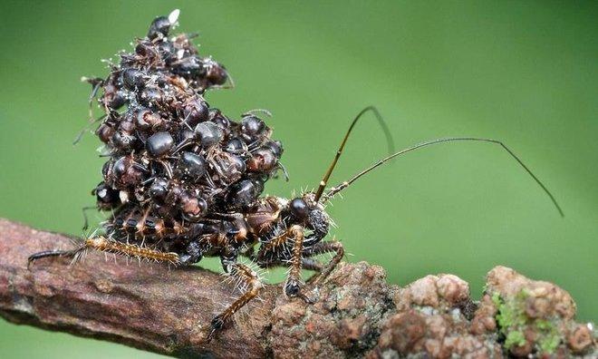 Loài bọ sát thủ tí hon dùng chính xác của nạn nhân để làm áo giáp ngụy trang - Ảnh 2.