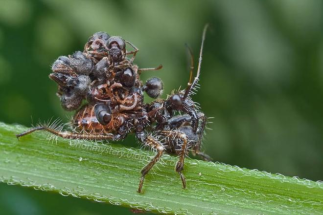 Loài bọ sát thủ tí hon dùng chính xác của nạn nhân để làm áo giáp ngụy trang - Ảnh 1.