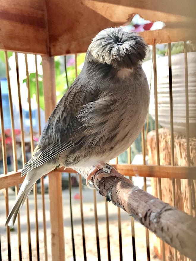 Gloster Canary: Loài chim kỳ lạ sở hữu quả đầu moi cực chất - Ảnh 5.