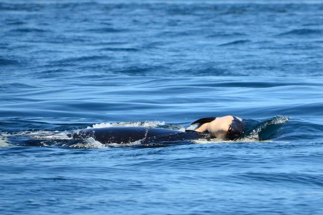 Chú cá voi sát thủ từng ôm xác con đi khắp đại dương trong suốt 17 ngày vừa đón nhận tin vui - Ảnh 2.