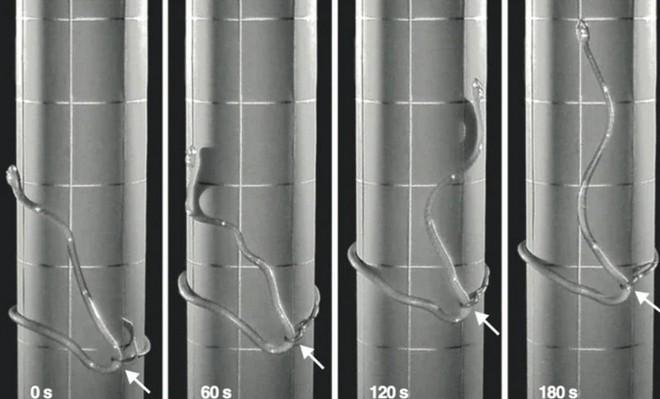 Các nhà khoa học đã phát hiện ra một cách di chuyển mới cực kỳ độc lạ của loài rắn - Ảnh 4.