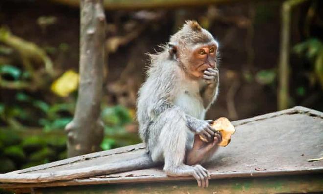 Những con khỉ trộm cướp ở Indonesia ngày càng thông minh, có thể nhận biết món đồ giá trị cao để lấy rồi đòi tiền chuộc - Ảnh 2.