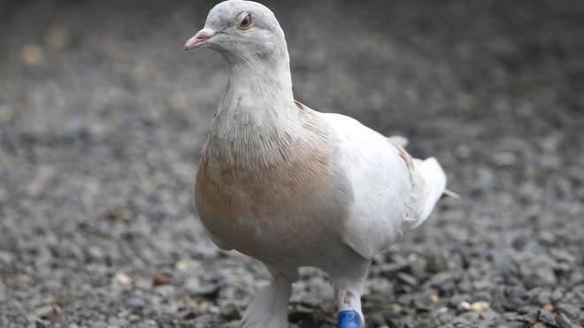 Bị nghi bay nhầm từ Mỹ đến Úc, con chim bồ câu may mắn thoát án tử hình vào phút chót - Ảnh 1.