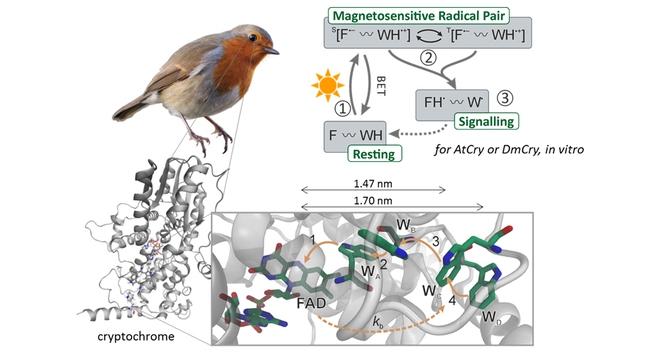 Khoa học cho rằng loài chim dựa vào trường địa từ để điều hướng, nhưng thực tế chúng sử dụng cơ học lượng tử? - Ảnh 3.